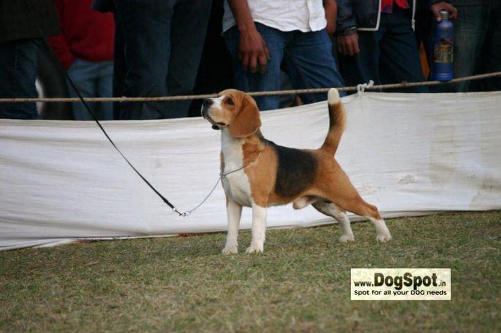 beagle,, Jaipur 2010, DogSpot.in