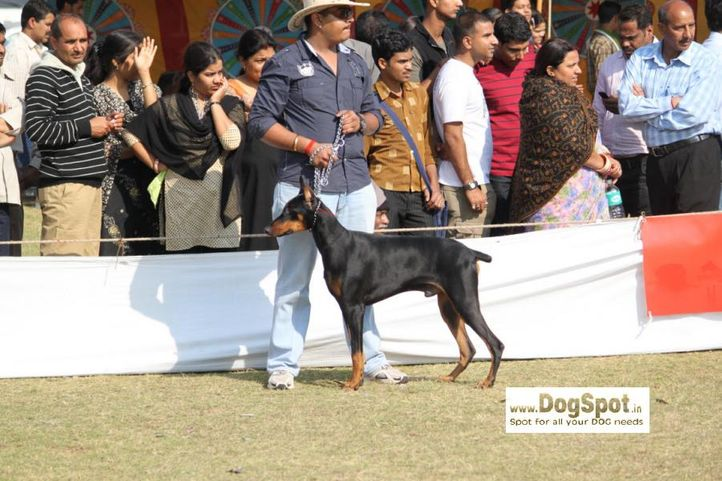 Doberman,, Jaipur 2010, DogSpot.in