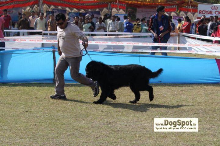 Newfoundland,, Jaipur 2010, DogSpot.in