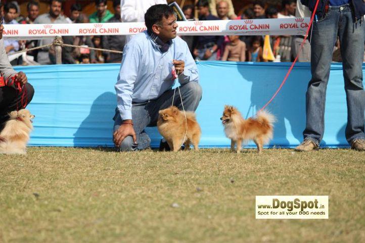 Poms,, Jaipur 2010, DogSpot.in