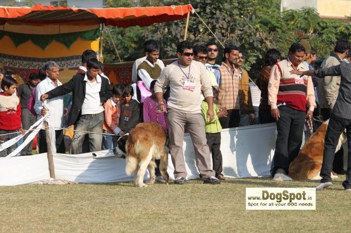 St Bernard,, Jaipur 2010, DogSpot.in