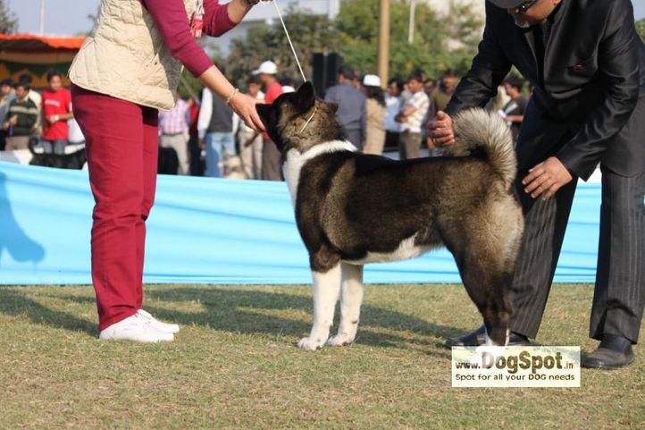 Akita,, Jaipur 2010, DogSpot.in