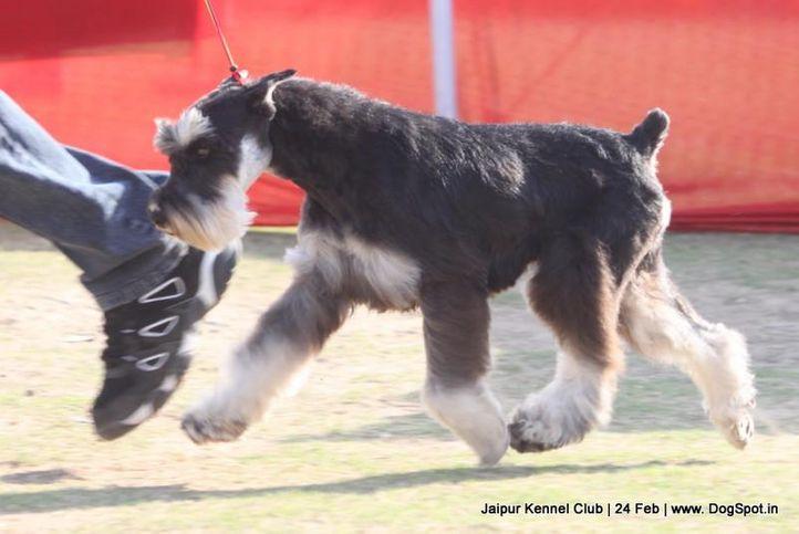 miniature schnauzer,sw-84,, Jaipur Dog Show 2013, DogSpot.in