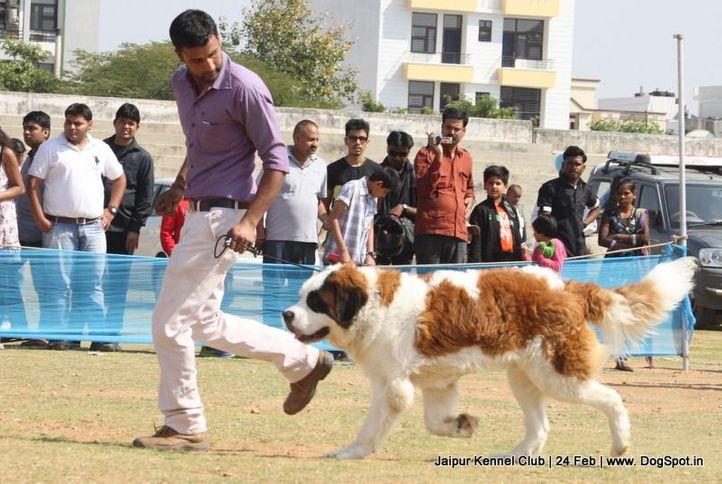 stbernard,sw-84,, Jaipur Dog Show 2013, DogSpot.in