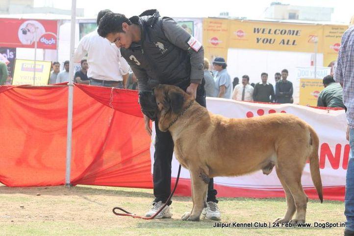english mastiff,ex-117,sw-84,, RUSTAM, Mastiff- English, DogSpot.in