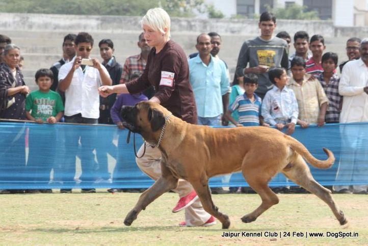 english mastiff,ex-120,sw-84,, BALDEEP'S BRONO SECOND EDITION, Mastiff- English, DogSpot.in