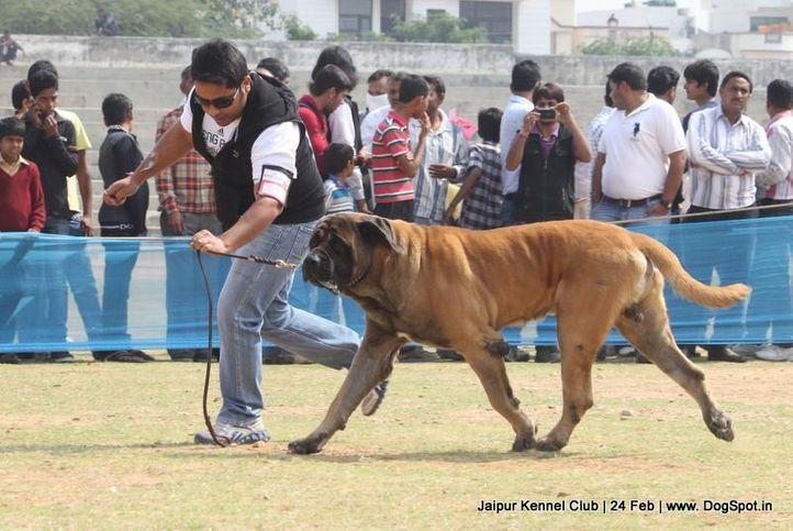 english mastiff,ex-121,sw-84,, BRUNO, Mastiff- English, DogSpot.in