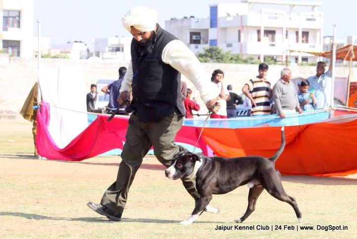 ex-101,staffordshire bull terrier,sw-84,, HASHMEET'S AJZGAR, Staffordshire Bull Terrier, DogSpot.in