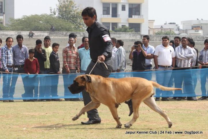 english mastiff,ex-122,sw-84,, RANNI'S JINGLE, Mastiff- English, DogSpot.in