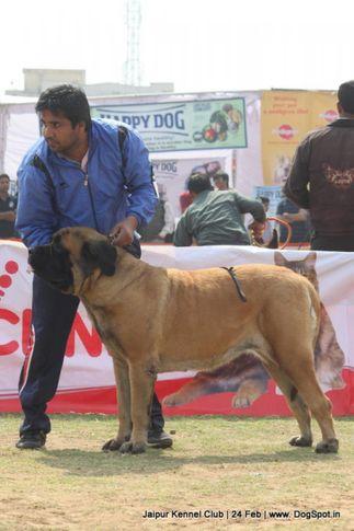 english mastiff,sw-84,, Jaipur Dog Show 2013, DogSpot.in