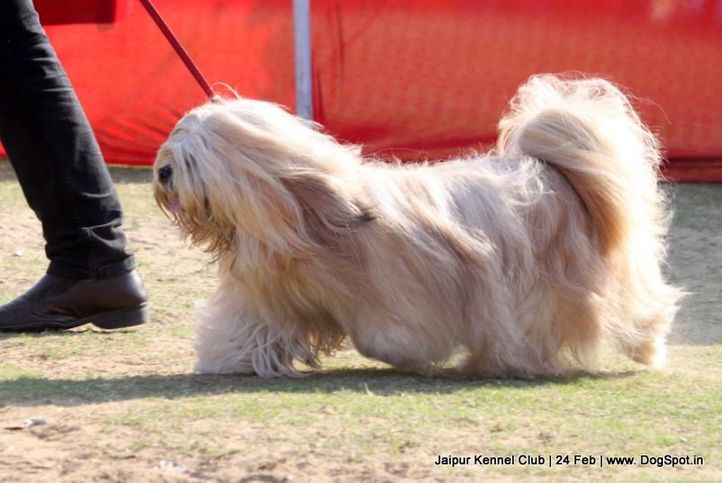 ex-104,lhasa apso,sw-84,, DHOOMI, Lhasa Apso, DogSpot.in