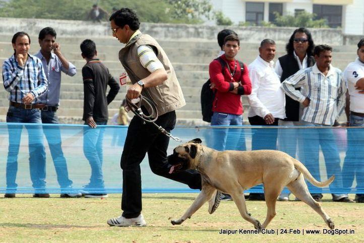 bull mastiff,sw-84,, Jaipur Dog Show 2013, DogSpot.in