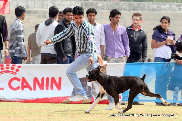 boxer,sw-84,, Jaipur Dog Show 2013, DogSpot.in
