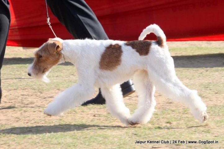 ex-98,fox terrier,sw-84,, FIERY FOX SAFARI, Fox Terrier- Weired Hair, DogSpot.in