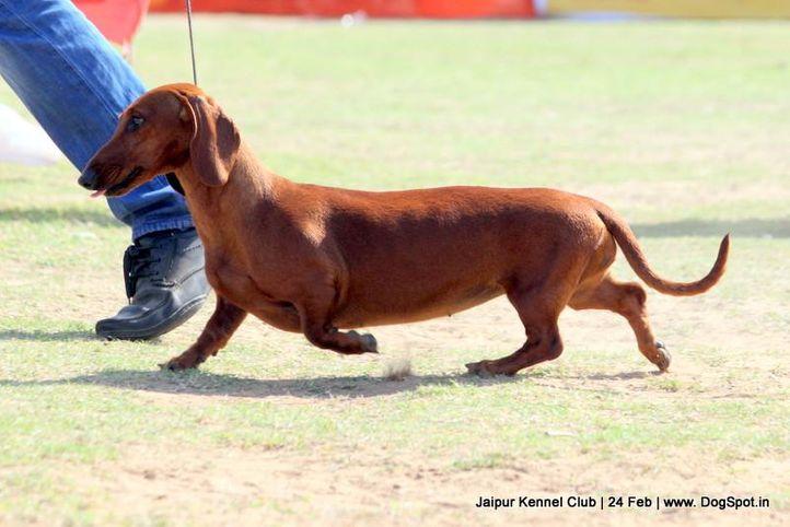 dachshund,ex-53,sw-84,, CHANJI'S GARDENIA, Dachshund Standard- Smooth Haired, DogSpot.in