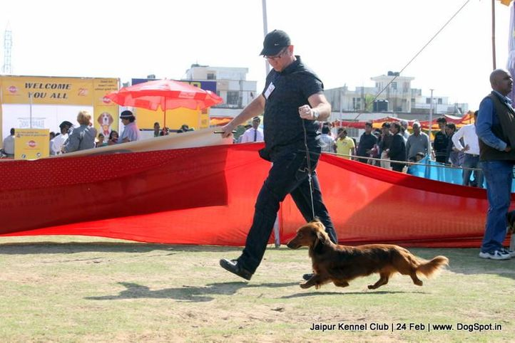 dachshund,ex-58,sw-84,, TARRAMIST FORCE INDIA, Dachshund Standard- Long Haired, DogSpot.in