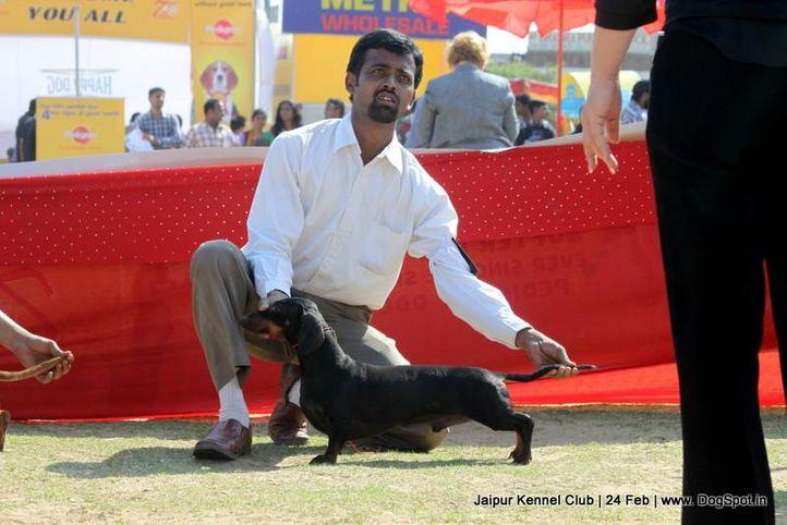 dachshund,sw-84,, Jaipur Dog Show 2013, DogSpot.in