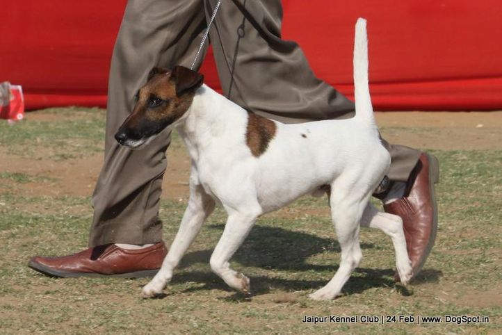 ex-99,fox terrier,sw-84,, HUN IND CH AGRIA HIPPY HIPPY SHAKE, Fox Terrier- Smooth Hair, DogSpot.in