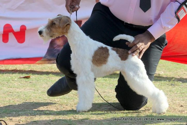 ex-98,fox terrier,sw-84,, FIERY FOX SAFARI, Fox Terrier- Weired Hair, DogSpot.in