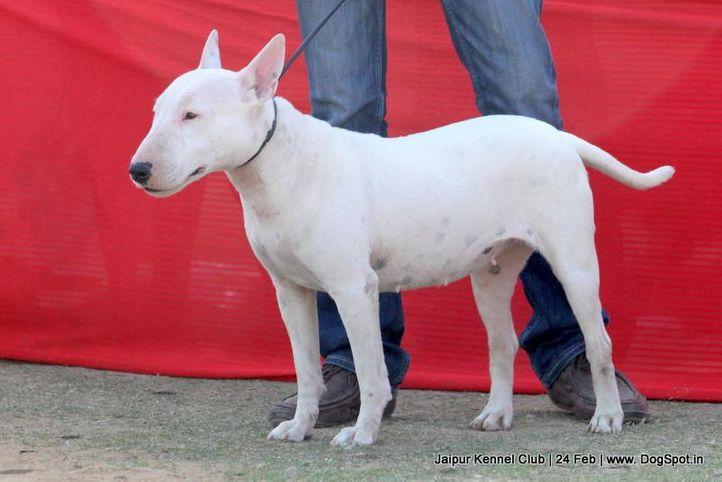 bull terrier,ex-100,sw-84,, GLADY, Bull Terrier, DogSpot.in
