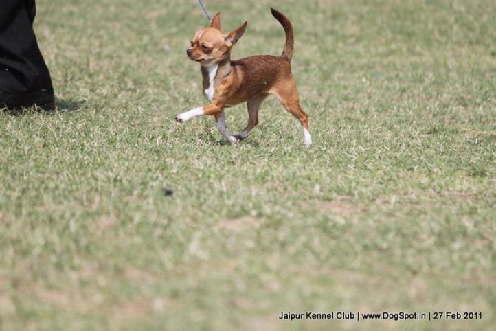 chihuahua,ex-1,sw-34, KARBET'S CANDY, Chihuahua (Smooth Coat), DogSpot.in