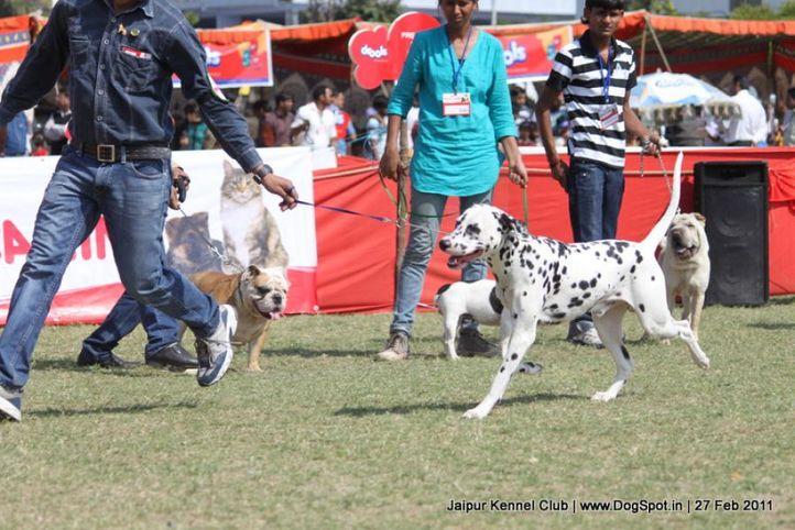 dalmatian,ex-51,sw-34, Ch. Caesar, Dalmatian, DogSpot.in