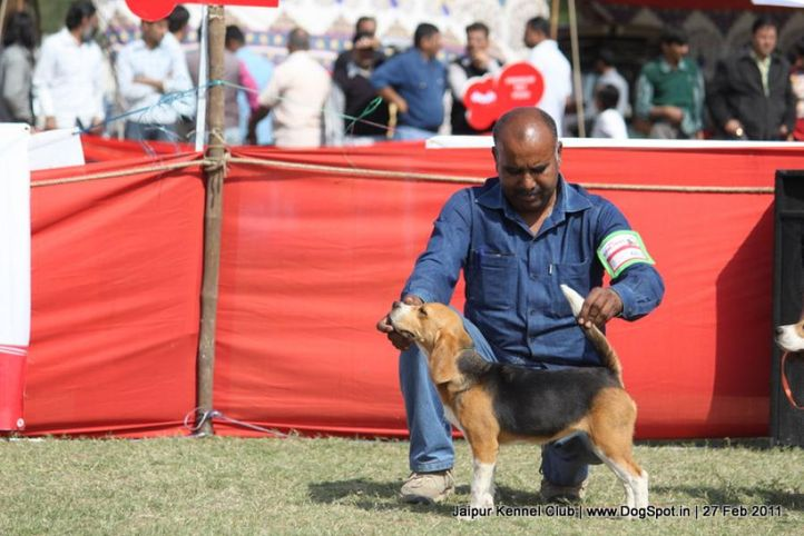 beagle,ex-62,sw-34, Jaipur Kennel Club, DogSpot.in