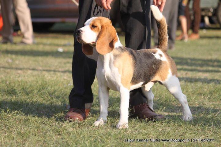 beagle,ex-65,sw-34, BLUE BELL'S CHETAK, Beagle, DogSpot.in