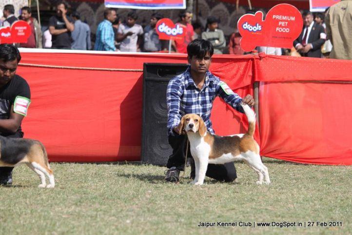 beagle,ex-67,sw-34, SHYAMBIR'S SHADOW, Beagle, DogSpot.in