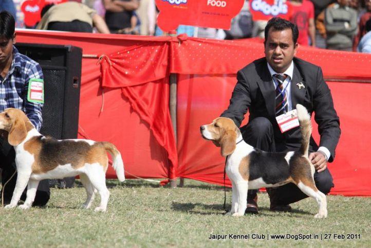 beagle,ex-68,sw-34, BLUE BELL'S JASSSI, Beagle, DogSpot.in