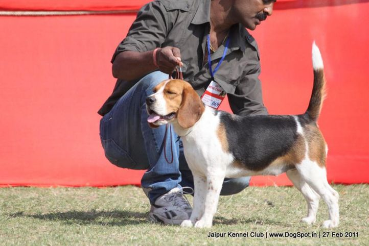 beagle,ex-69,sw-34, SHEENA'S NIMA, Beagle, DogSpot.in