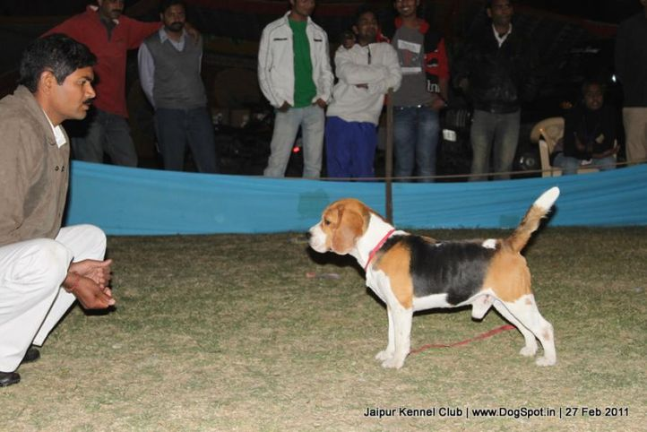 beagle,ex-74,sw-34, CH. BLUE BELL'S HIPPY, Beagle, DogSpot.in