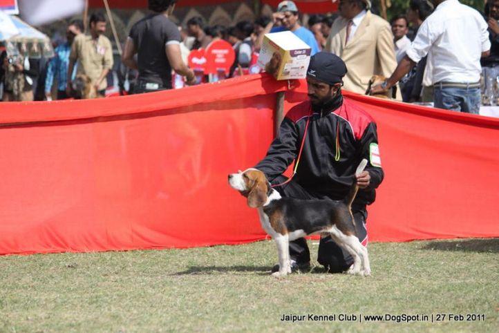 beagle,sw-34, Jaipur Kennel Club, DogSpot.in