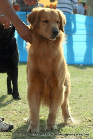 ex-271,golden,sw-34, Jaipur Kennel Club, DogSpot.in