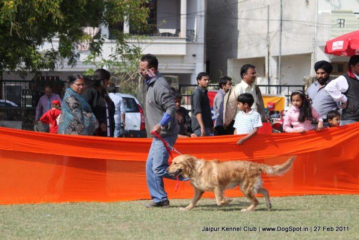 golden,sw-34, Jaipur Kennel Club, DogSpot.in