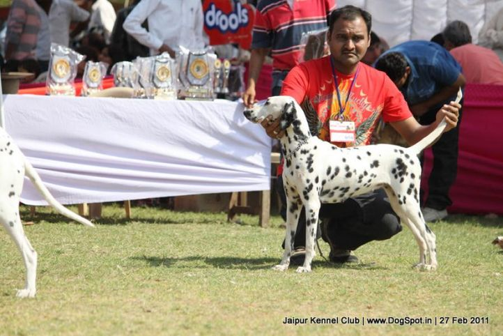 dalmatian,ex-50,sw-34, LAILA, Dalmatian, DogSpot.in