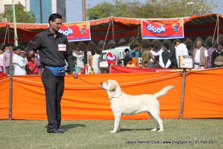ex-103,labrador,sw-34, FLASH DANCER OF SPEED, Labrador Retriever, DogSpot.in
