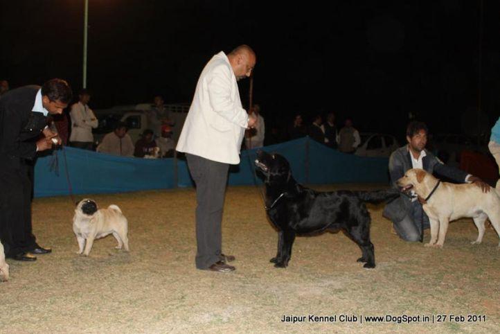 ex-119,labrador,lineup,sw-34, CH ALGROM QUINCY, Labrador Retriever, DogSpot.in