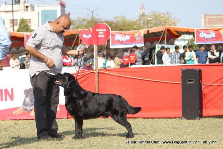 ex-119,labrador,sw-34, CH ALGROM QUINCY, Labrador Retriever, DogSpot.in