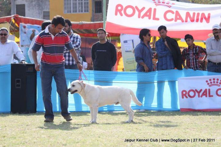 labrador,sw-34, Jaipur Kennel Club, DogSpot.in