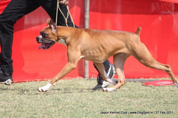 boxer,ex-131,sw-34, NEXT STEP'S RUBYCON, Boxer, DogSpot.in