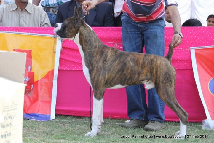 boxer,ex-138,sw-34, WALGRE'S ROCKY, Boxer, DogSpot.in