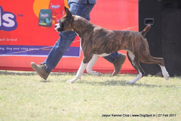boxer,sw-34, Jaipur Kennel Club, DogSpot.in