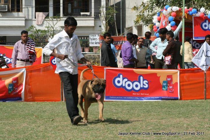 mastiff,sw-34, Jaipur Kennel Club, DogSpot.in