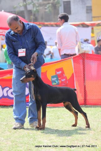 doberman,ex-141,sw-34, BROOKS OF RAMBO, Doberman Pinscher, DogSpot.in