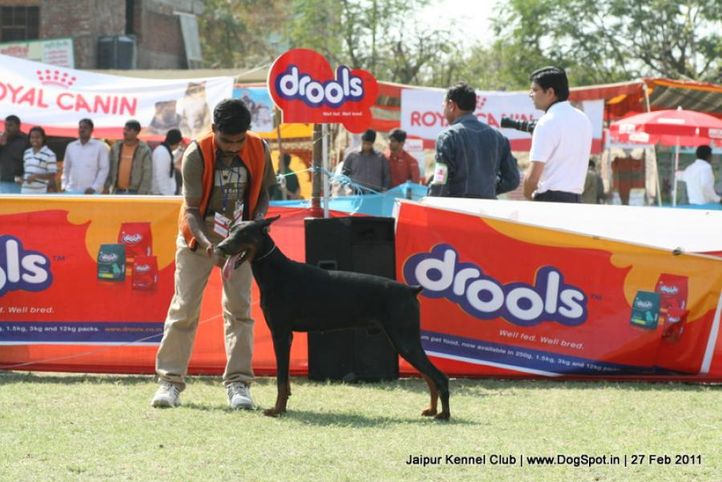 doberman,sw-34, Jaipur Kennel Club, DogSpot.in