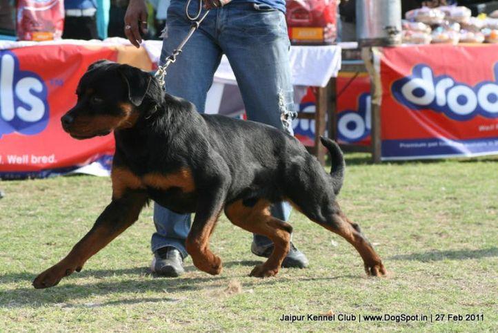 ex-185,rottweiler,sw-34,  ALDO VOM GODDO, Rottweiler, DogSpot.in