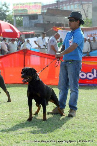 ex-207,rottweiler,sw-34, NAZA OF NICOLAS LION, Rottweiler, DogSpot.in