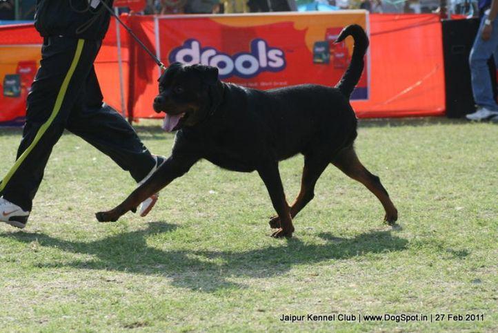 ex-211,rottweiler,sw-34, BINGO VOM HAUS DRAZIC, Rottweiler, DogSpot.in