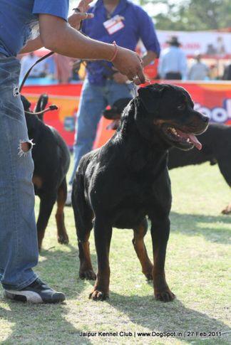 rottweiler,sw-34, Jaipur Kennel Club, DogSpot.in